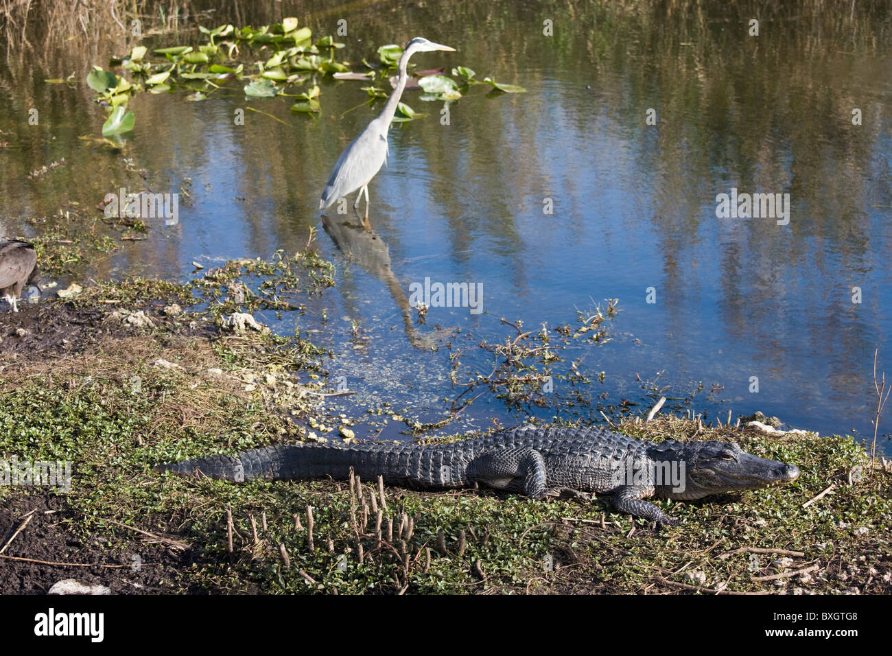Great Blue Heron, Ardea herodias, river scene in the Everglades, Florida, USA - Stock Image