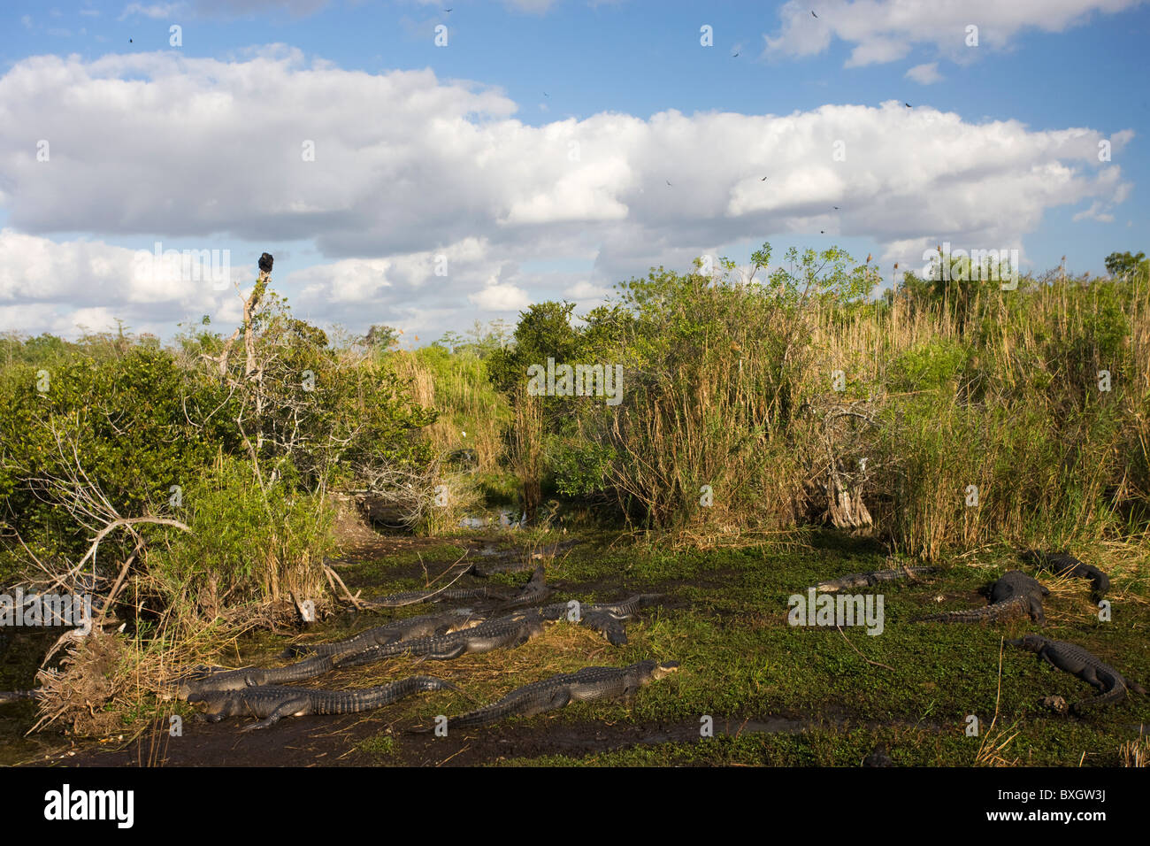 Large group of Alligators in typical Everglades scene, Florida, USA - Stock Image