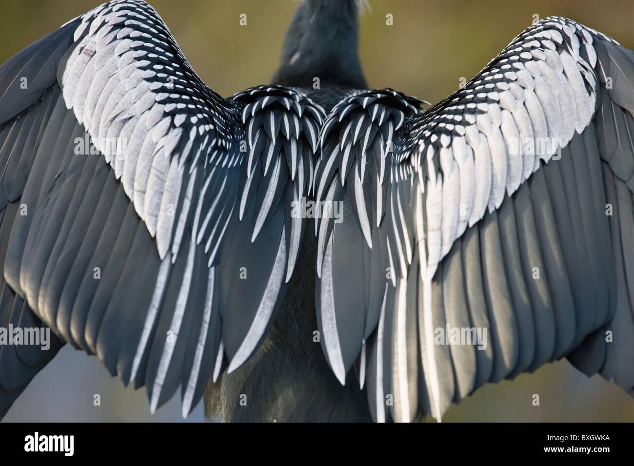 Anhinga snakebird darter, Anhinga anhinga, air drying feathers in the Everglades, Florida, United States of America - Stock Image