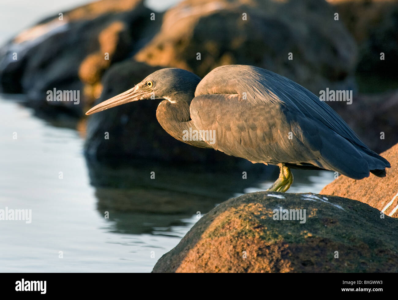 Eastern Reef Egret Egretta sacra looking for a fish supper on a rocky beach in Western Australia - Stock Image