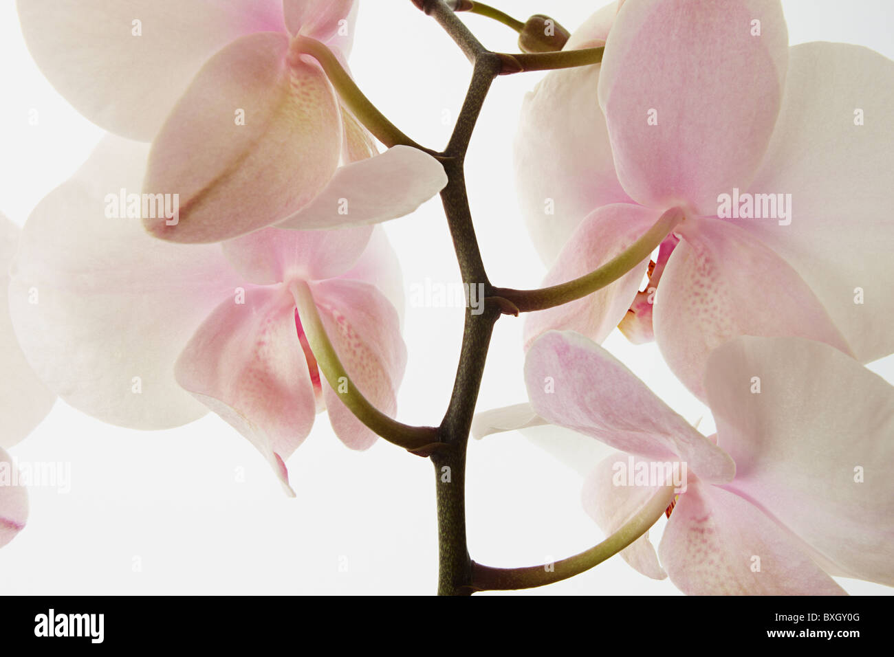 Close up of White Phalaenopsis Orchid - Stock Image