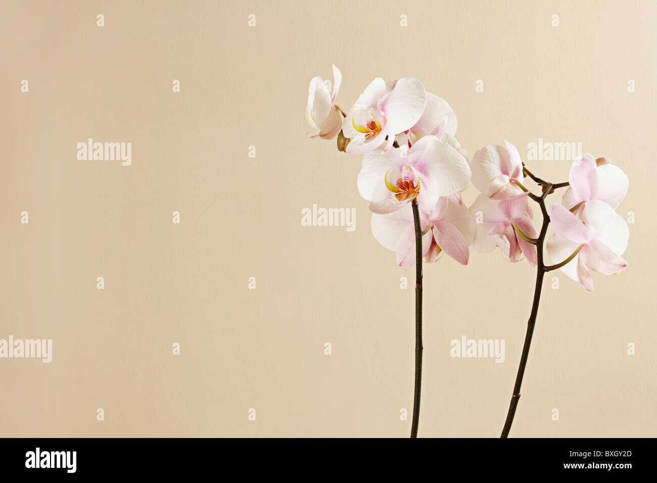 White Phalaenopsis Orchid on a cream background - Stock Image