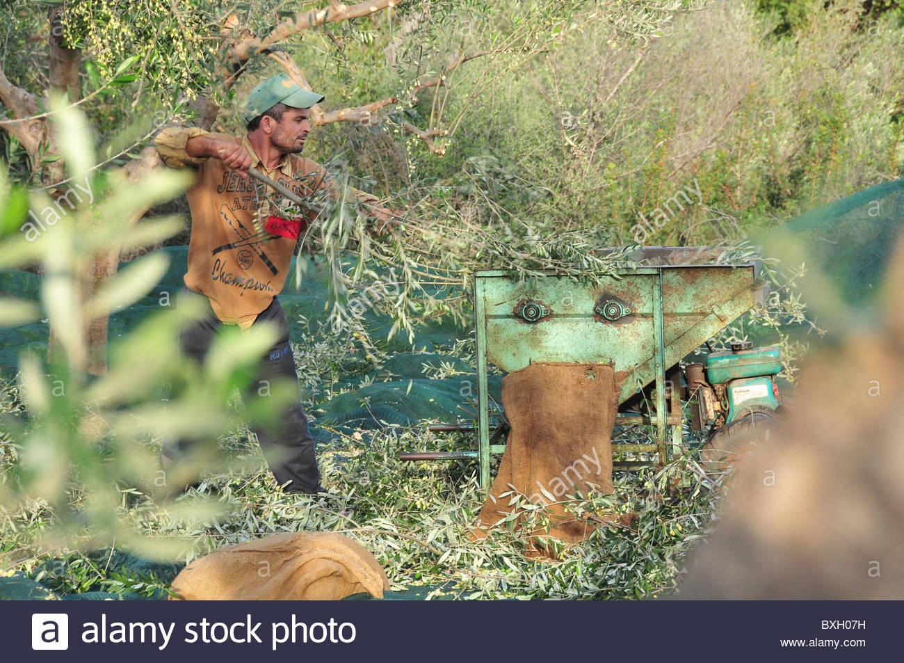 Olive Harvesting Machine Stock Photos & Olive Harvesting