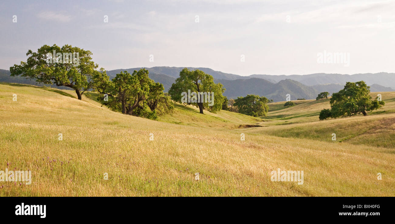 Coastal foothills oak savanna, Armour Ranch Road, near Santa Ynez, Santa Barbara County, California, USA - Stock Image