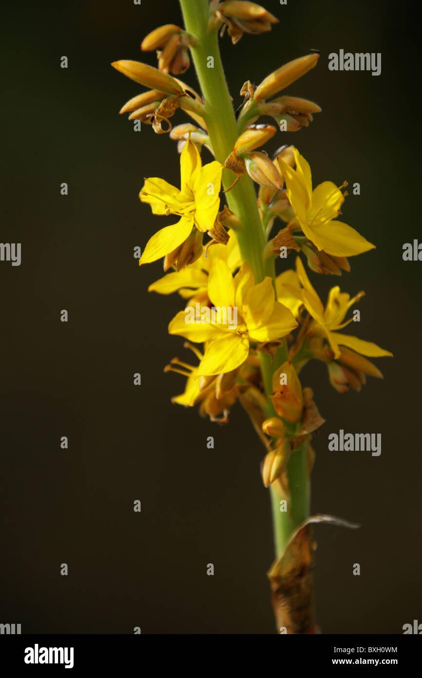Blood Root, Wachendorfia thyrsiflora, Haemodoraceae  Western