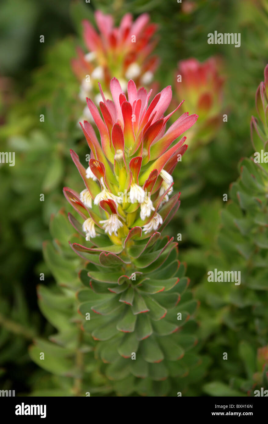 Common or Red-Crested Pagoda, Mimetes cucullatus, Proteaceae. Western Cape, South Africa. Protea Flower. - Stock Image