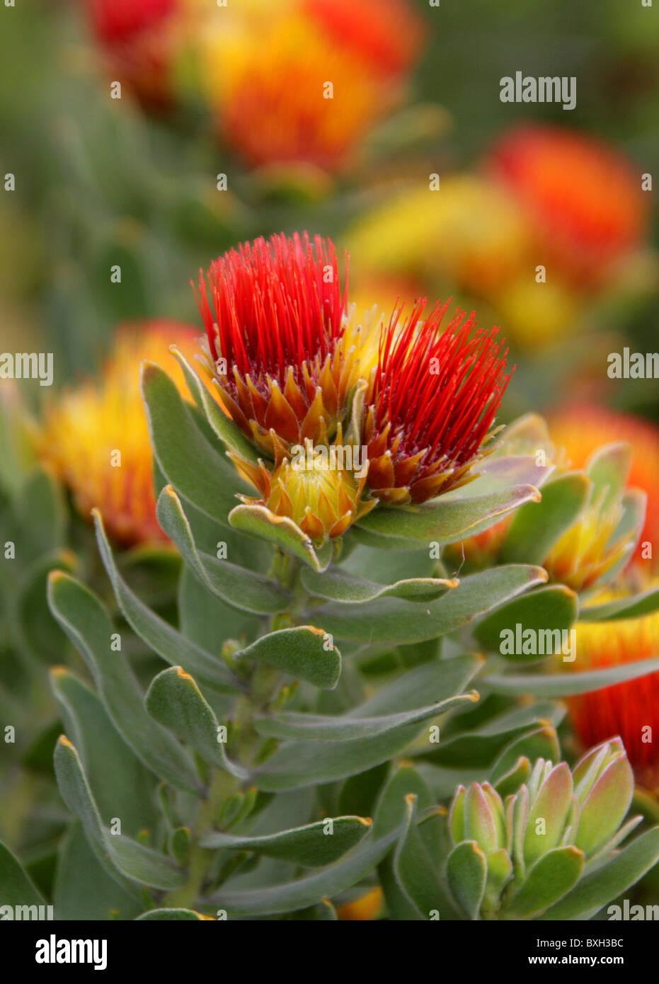 Tufted Pincushion Protea, Leucospermum oleifolium, Proteaceae. Mountain Fynbos, Western Cape, South Africa. Stock Photo