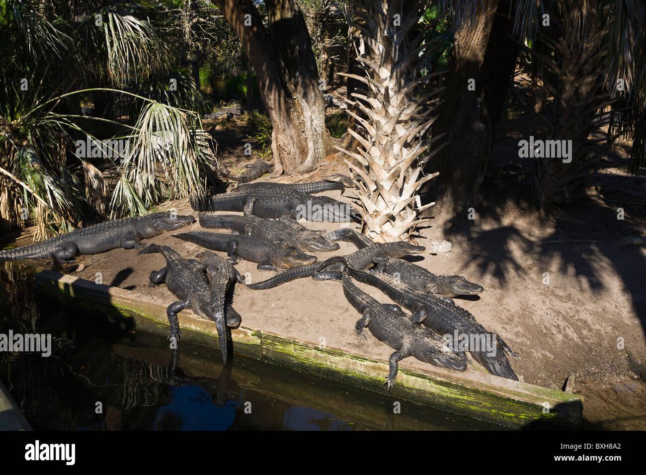 Alligators on bank at St Augustine Alligator Farm Zoological Park in St Augustine Florida - Stock Image