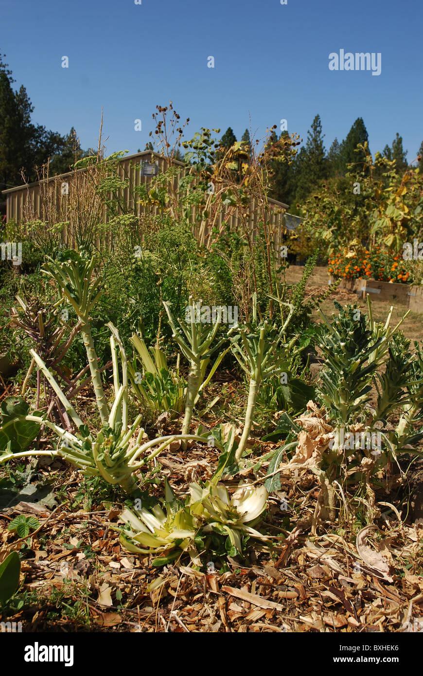 Cauliflower garden damaged by deer Stock Photo