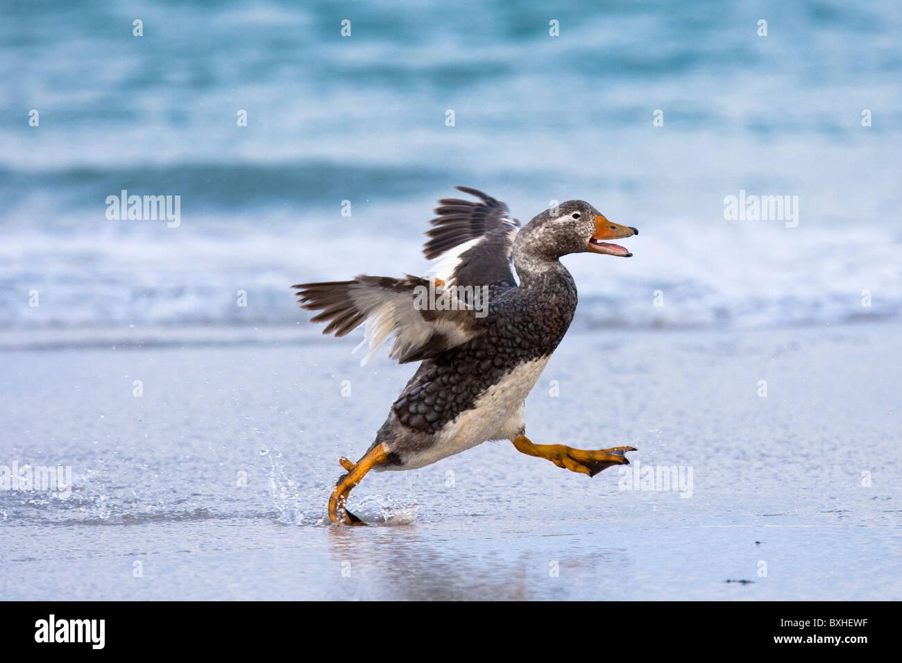 Falkland-Dampfschiffente, Falkland Steamer Duck, Tachyeres brachypterus, drake running, Volunteer Point, Falkland - Stock Image