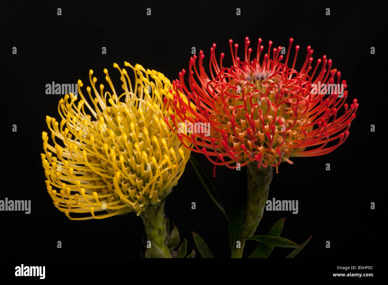 Red And Yellow Pincushion Protea Flower On A Horizontal Black Stock