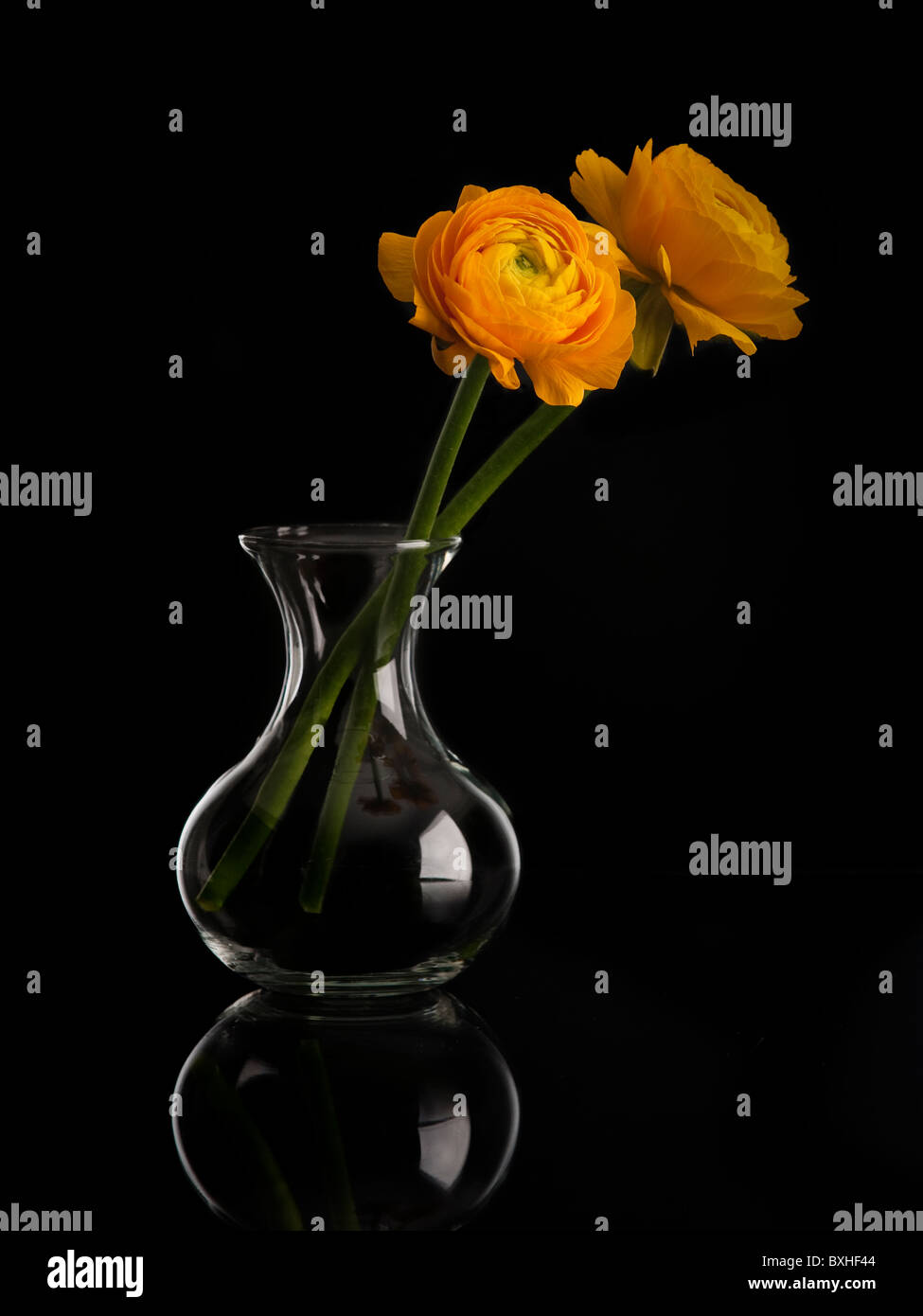 Orange ranunculus flower in a glass vase with white edge with reflection on a black background