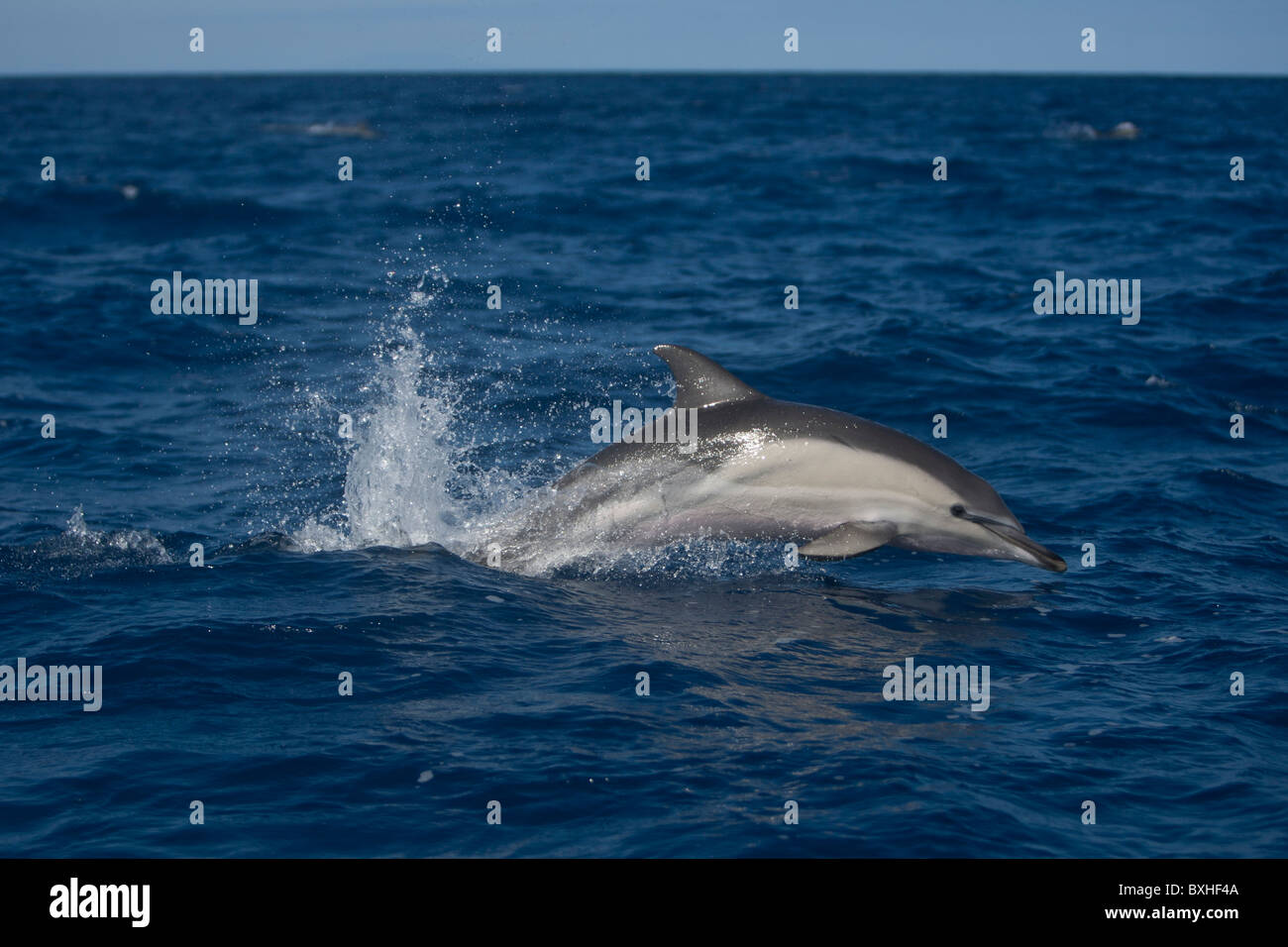 Short-beaked Common Dolphin, Delphinus delphis, leaping, Pico, Azores, Portugal - Stock Image