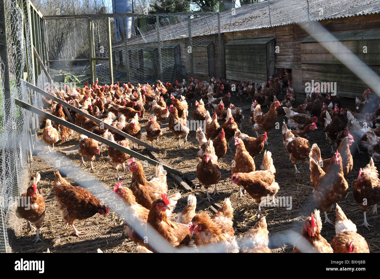 Intensive chicken farming - image taken outside of the coop - Stock Image