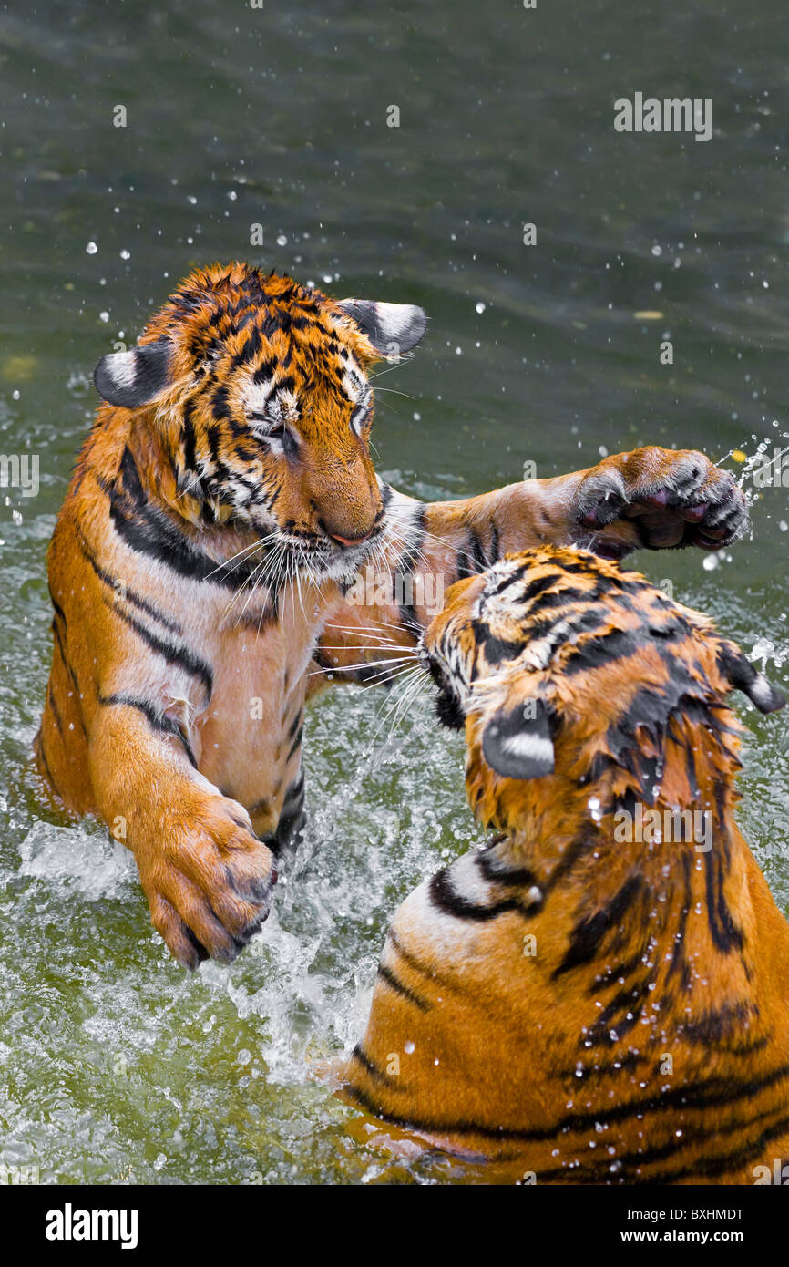 Tigers play fighting in water, Indochinese tiger or Corbett's tiger (Panthera tigris corbetti), Thailand - Stock Image