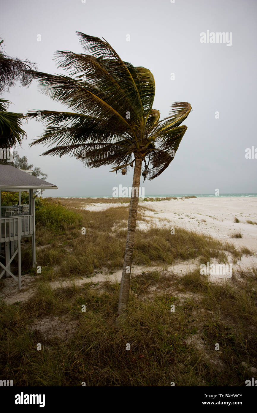 Coconut palm tree in windy weather on the shoreline at Anna Maria Island, Florida - Stock Image