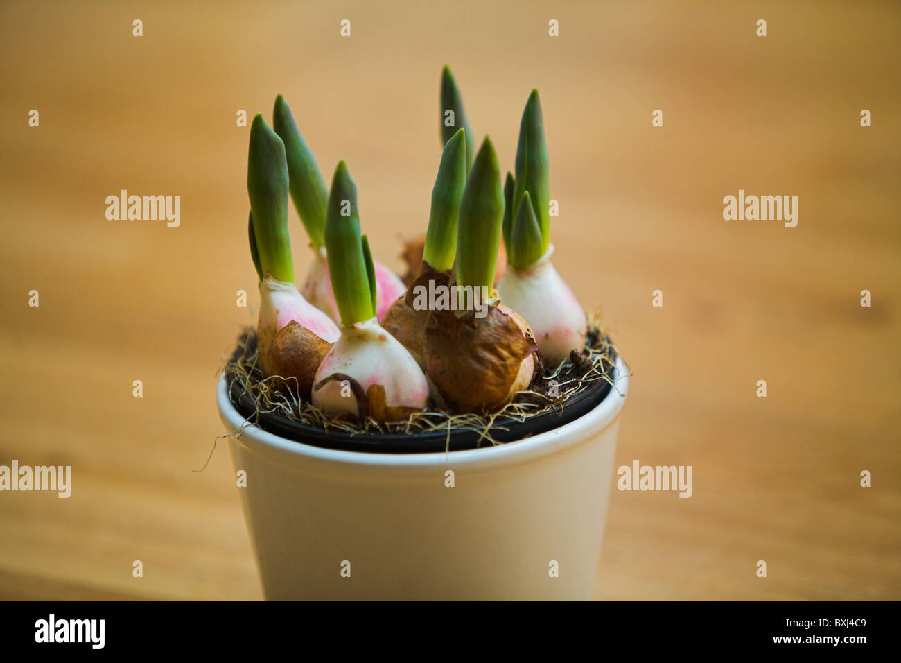 Stock Photo of Tulip Stock Photo