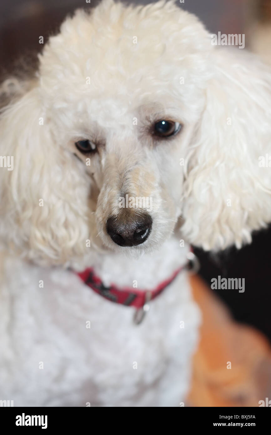 Mini Poodle Mix - Stock Image