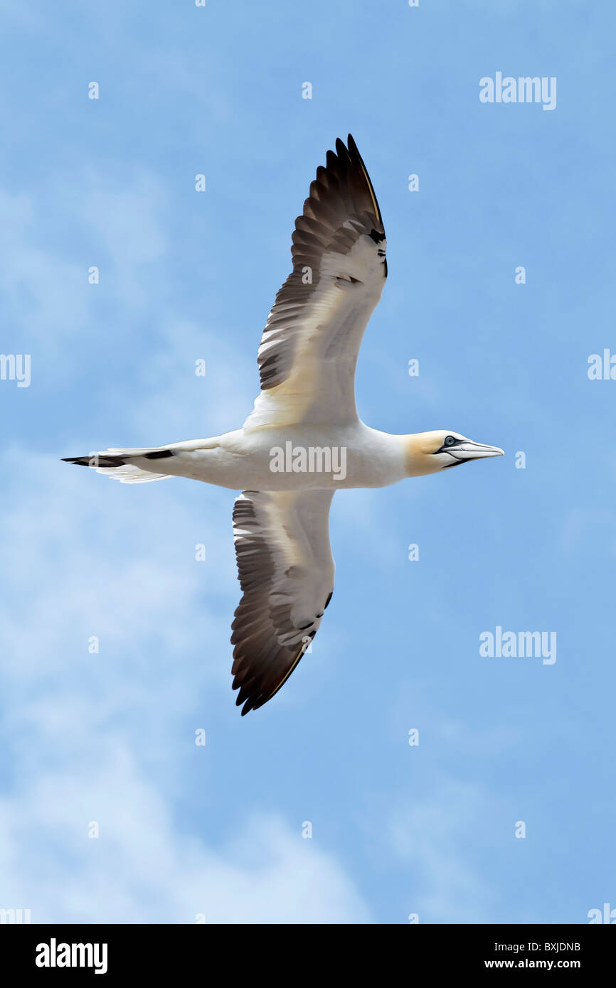 A sub-adult Northern Gannet in flight - Stock Image
