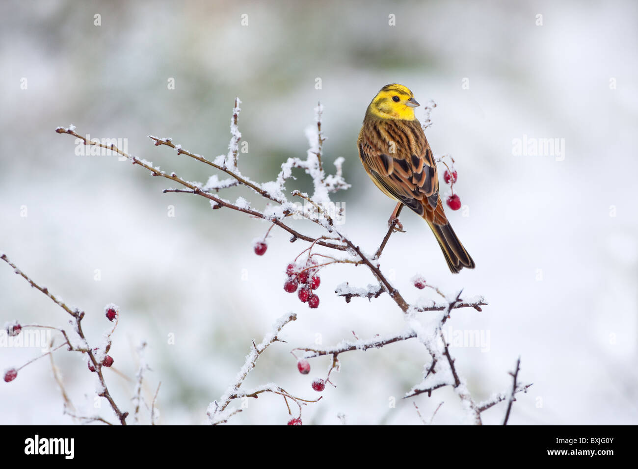 Yellowhammer Emberiza citinella  on snow covered hedgerow in winter - Stock Image