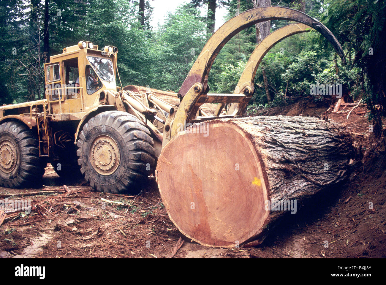 Caterpillar Loader 988 sorting Redwood logs, - Stock Image