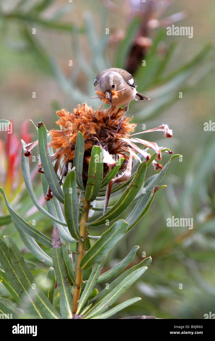 Chaffinch Eating Seeds from a Dead Protea Flower Head. Kirstenbosch Botanical Gardens, Cape Town, South Africa. - Stock Image