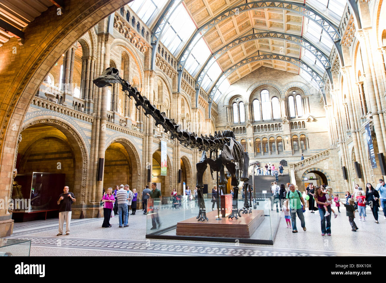 Diplodocus dinosaur at the Natural History Museum, London, England, UK - Stock Image