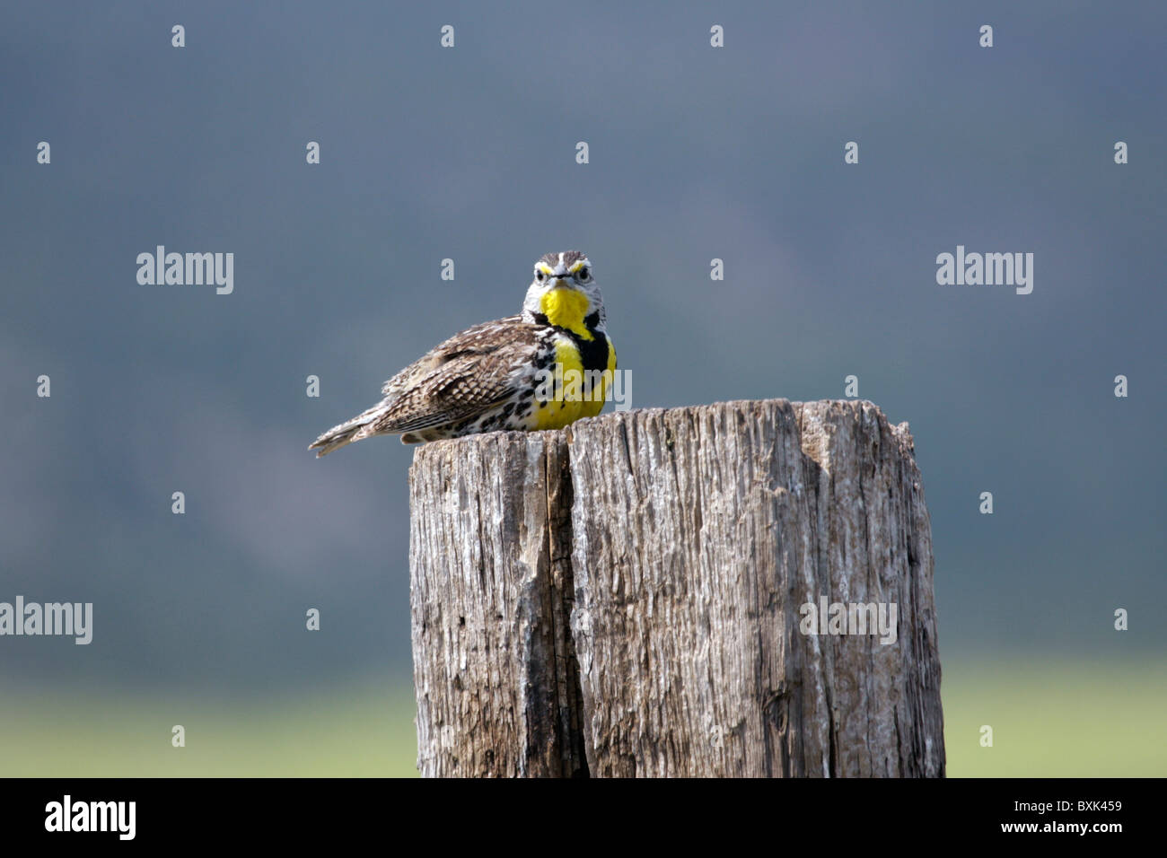 Western Meadowlark perched on a wooden fence post - Stock Image