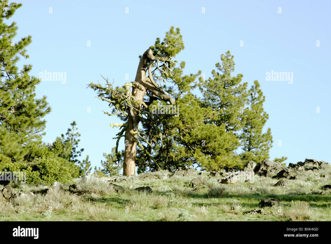 old pine tree deformed by snow and wind on top of a ridge - Stock Image
