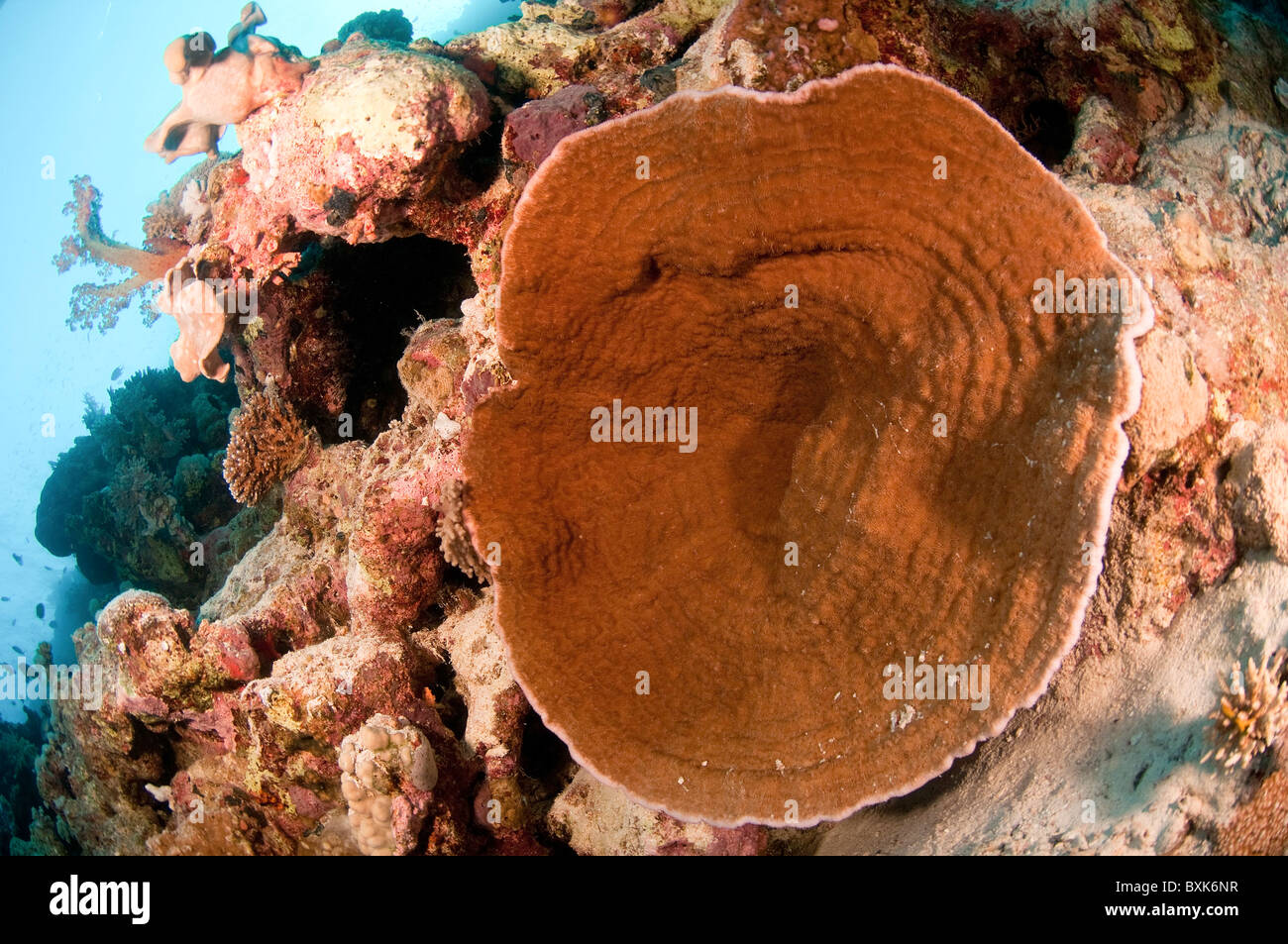 Coral Reef Ras Mohammed National Park, Red Sea, Sinai, Egypt, - Stock Image