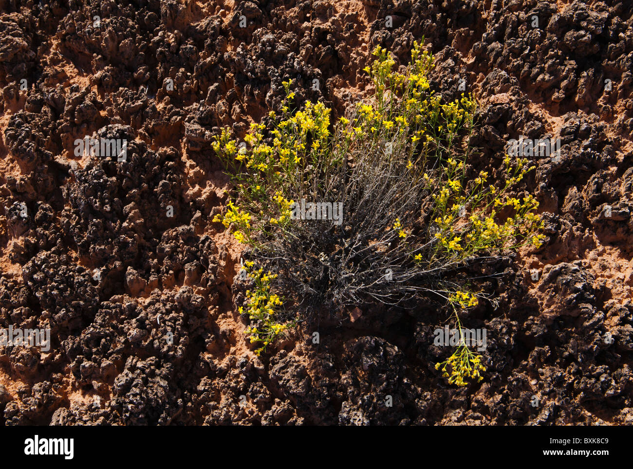 Closeup of cryptobiotic soil and Rabbitbrush in Canyonlands National Park, Needles District, Utah, USA. - Stock Image