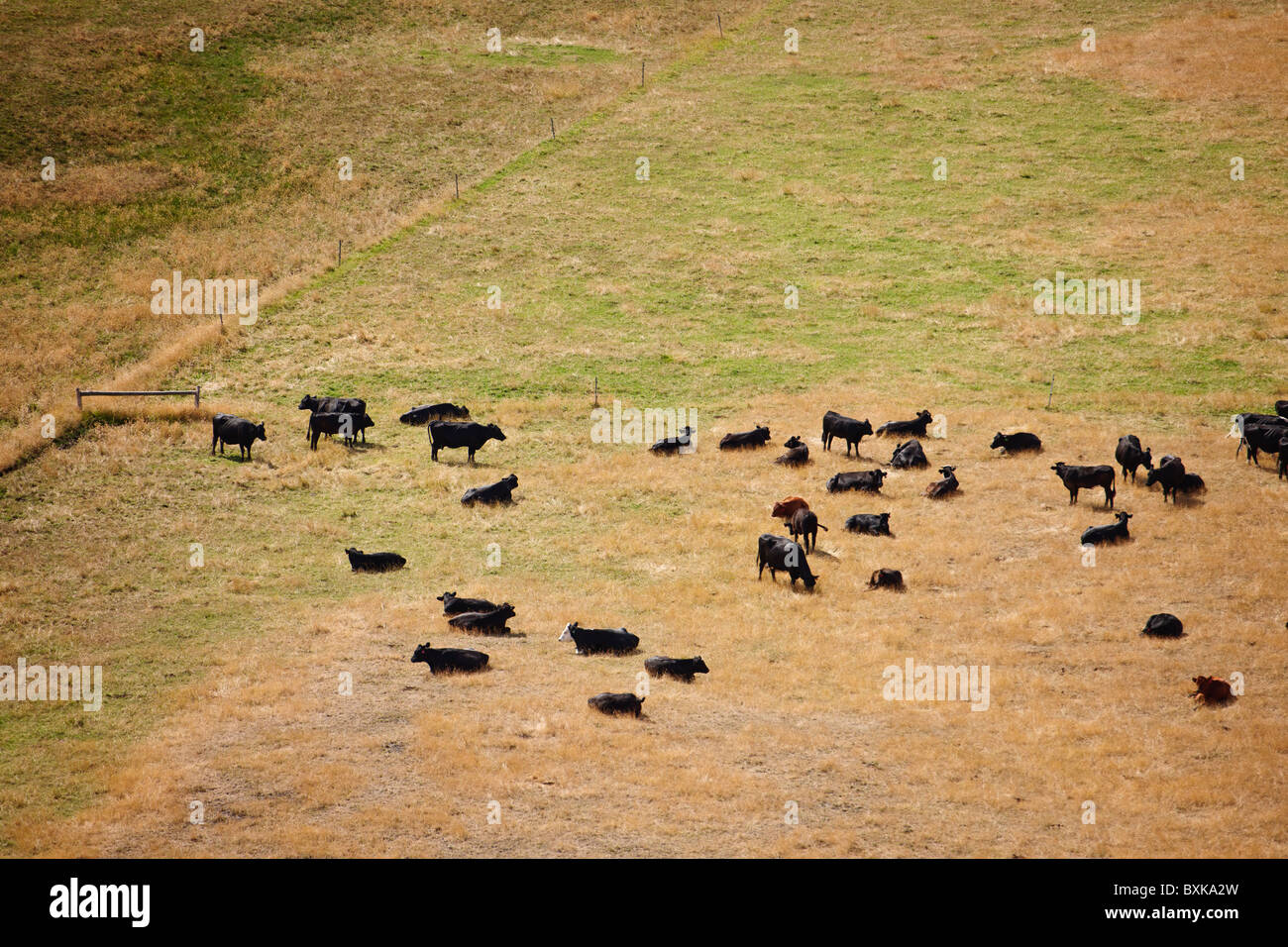 Cattle laze in the morning sun - Stock Image