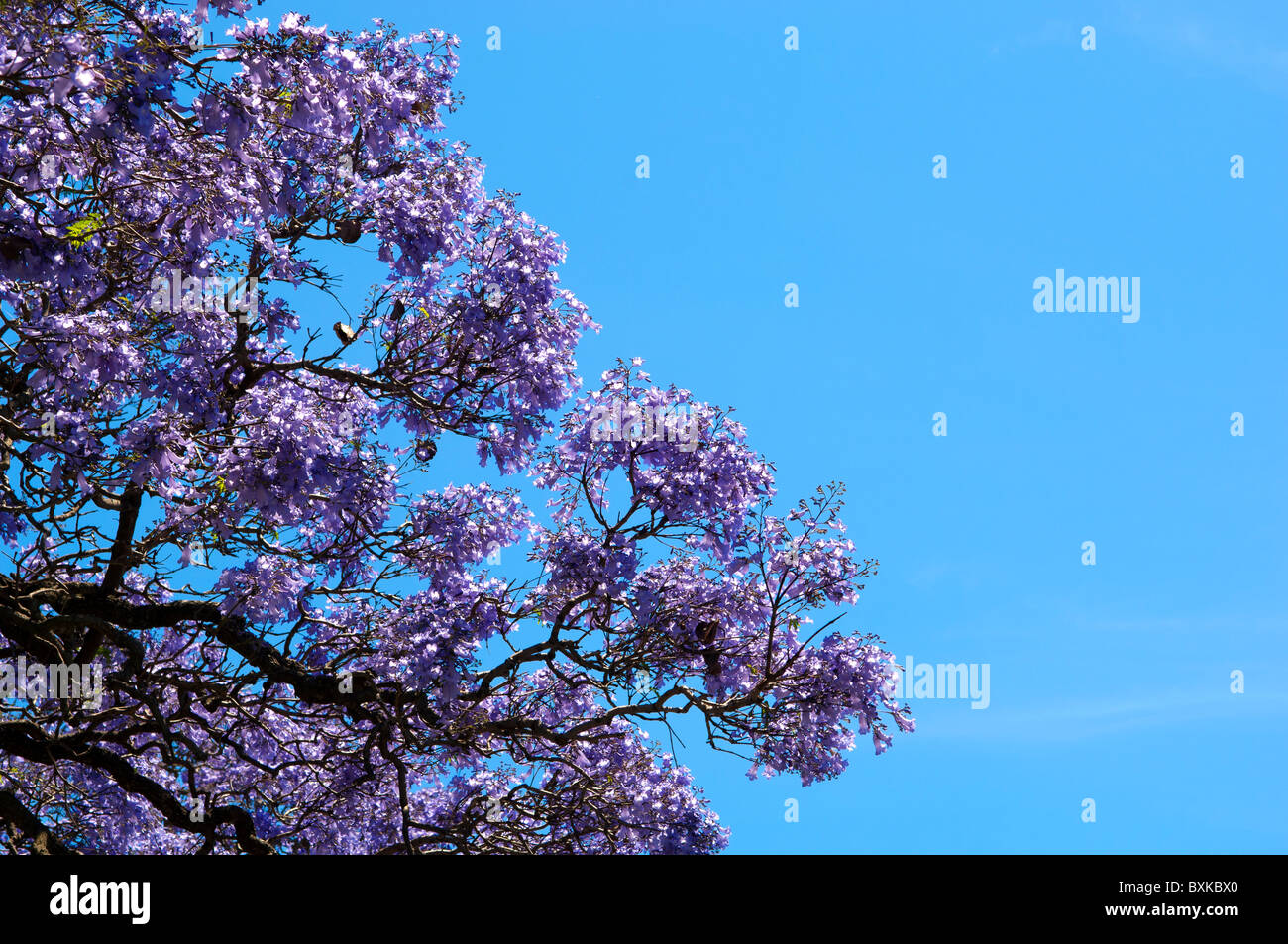 Beautiful Jacaranda trees in full bloom against a blue sky - Stock Image
