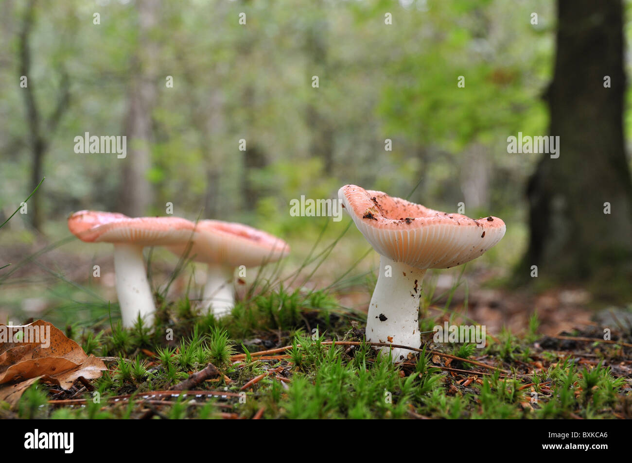 Redish mushrooms in autumn exploding from soil - Stock Image