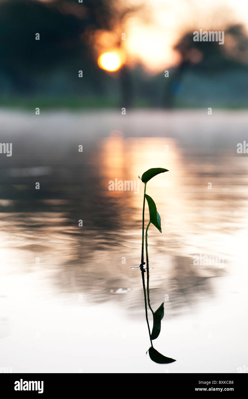 Sagittaria latifolia, Broadleaf arrowhead plant silhouette in a misty lake in the India countryside at sunrise. - Stock Image