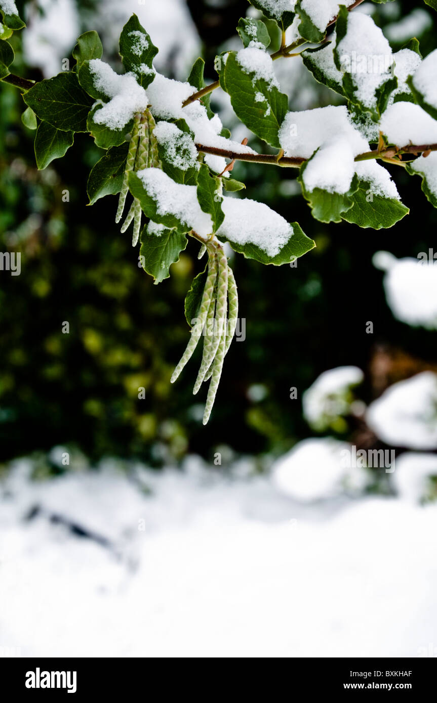 Catkins and leaves of Garrya elliptica with snow - a hardy evergreen shrub.  UK - Stock Image