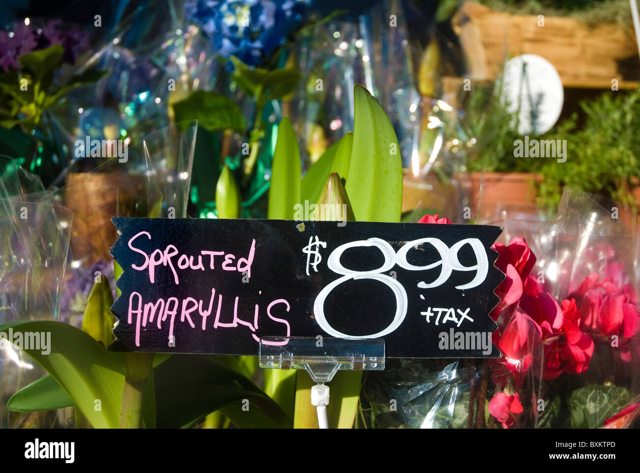 Sprouted amaryllis $8.99 sign at flower stall Stock Photo