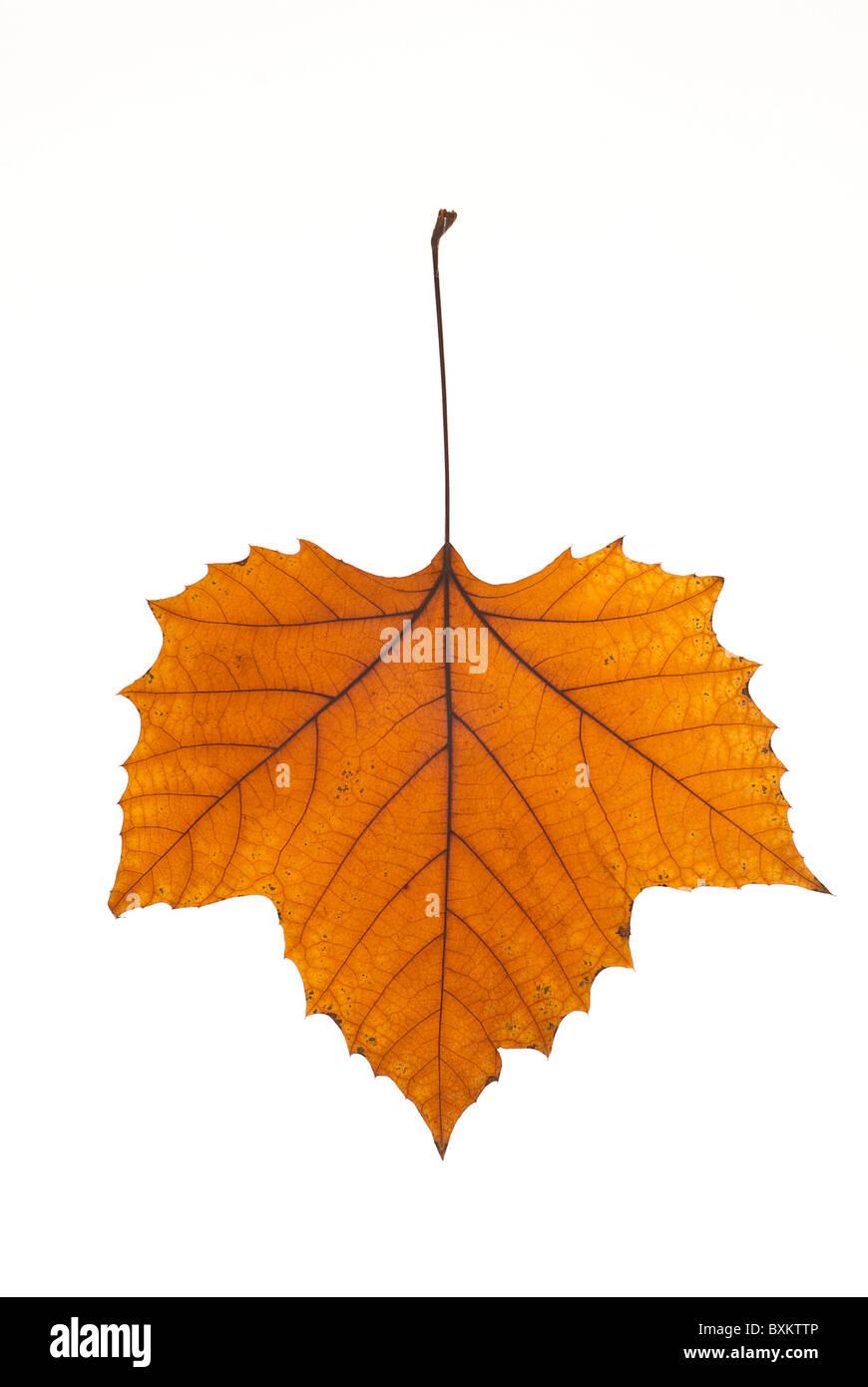 Autumn Plane tree leaf Stock Photo