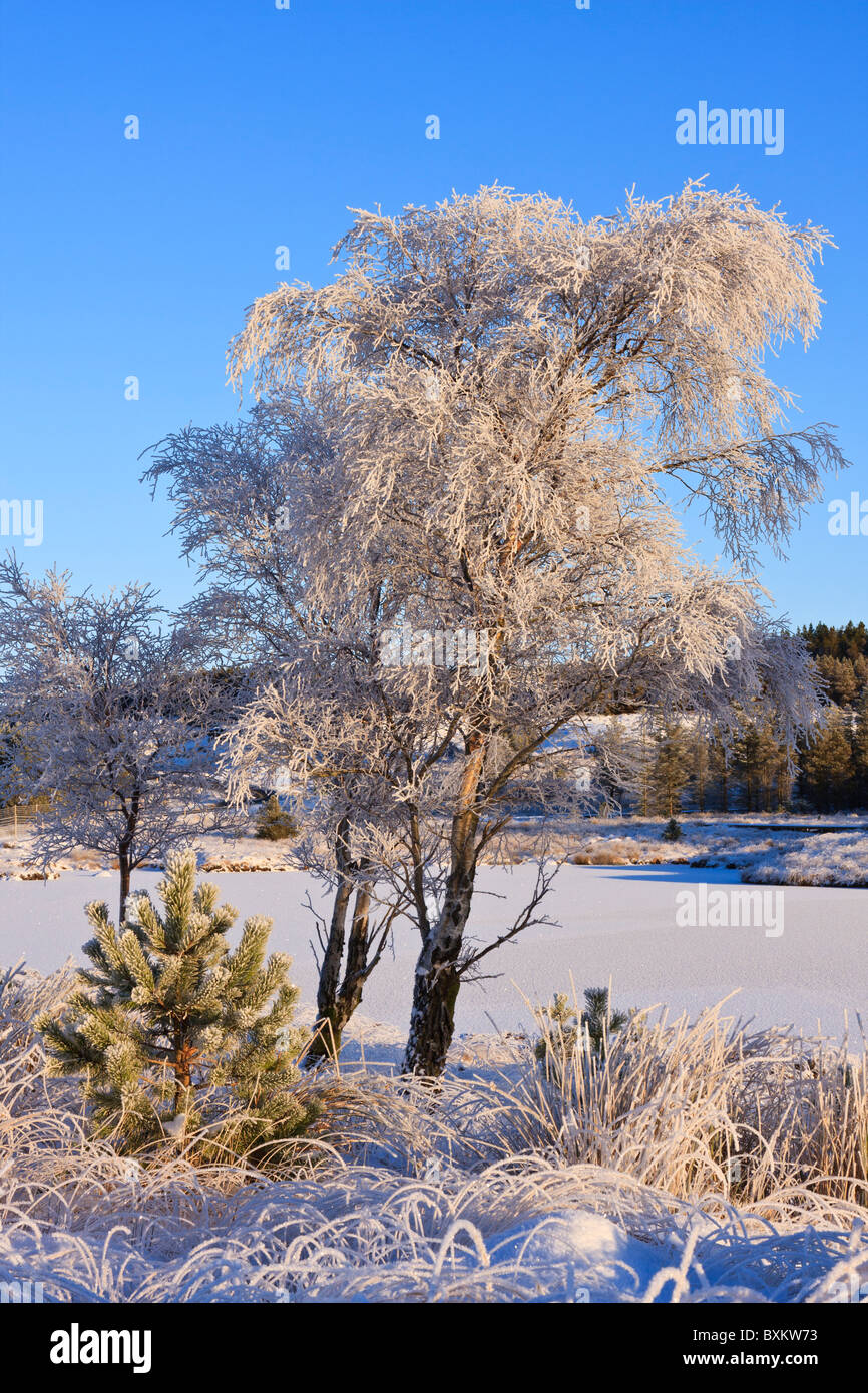 Silver Birch trees in winter - Stock Image