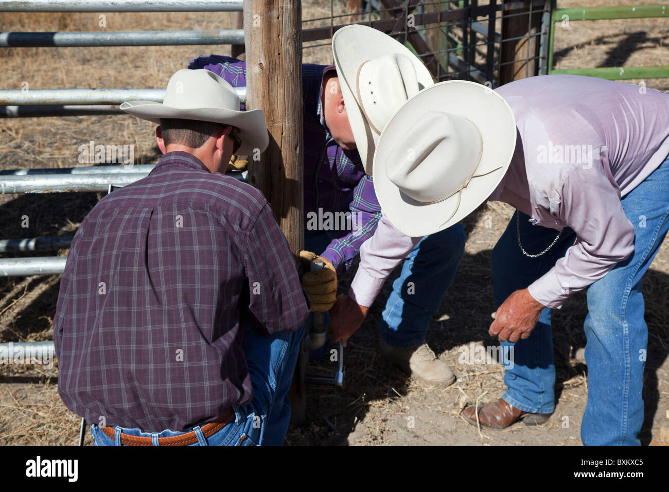 Ranchers Repair Gate on Cattle Chute on Cattle Ranch Stock