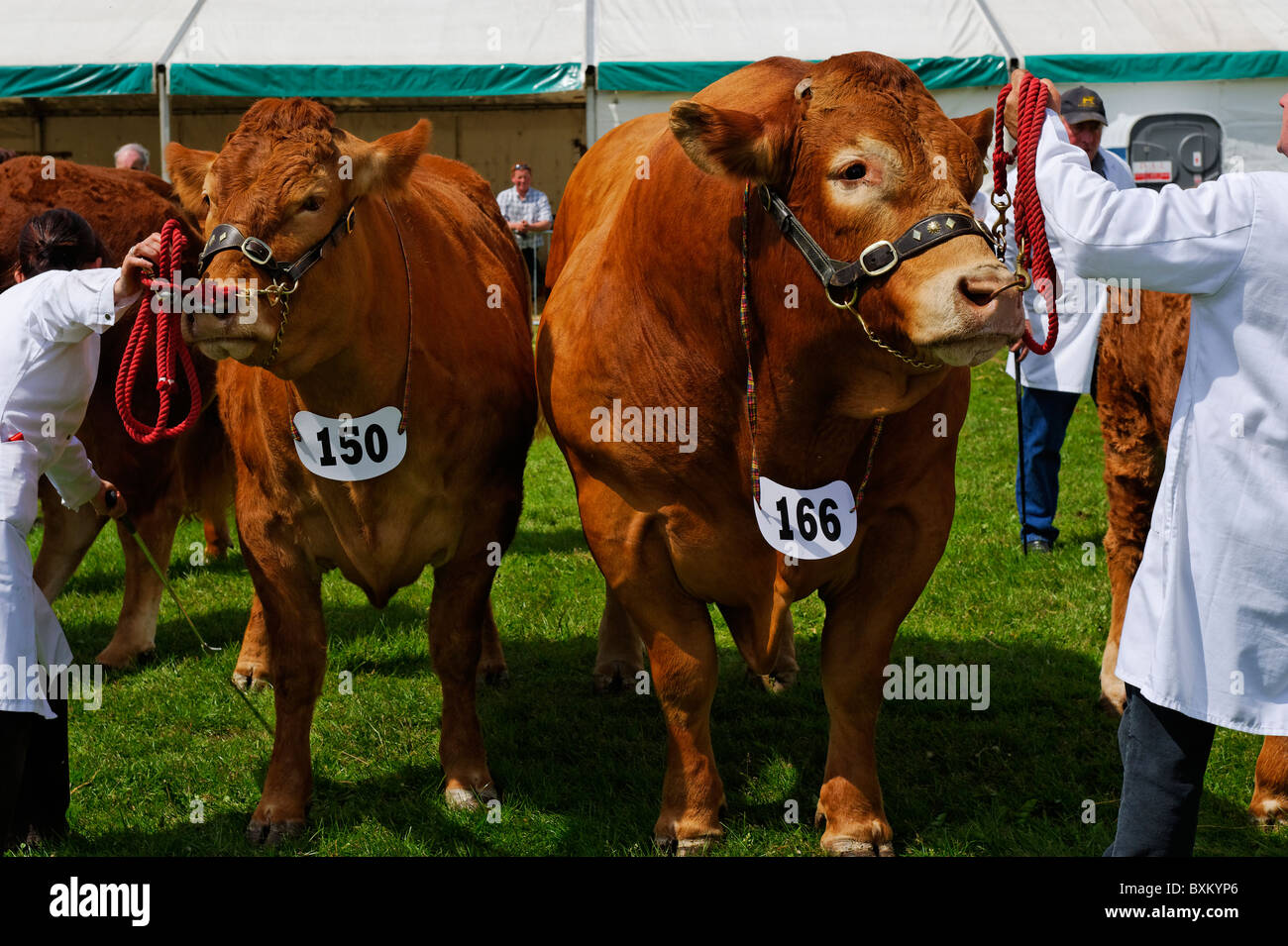 Livestock on display at the Northumberland County Show - Stock Image