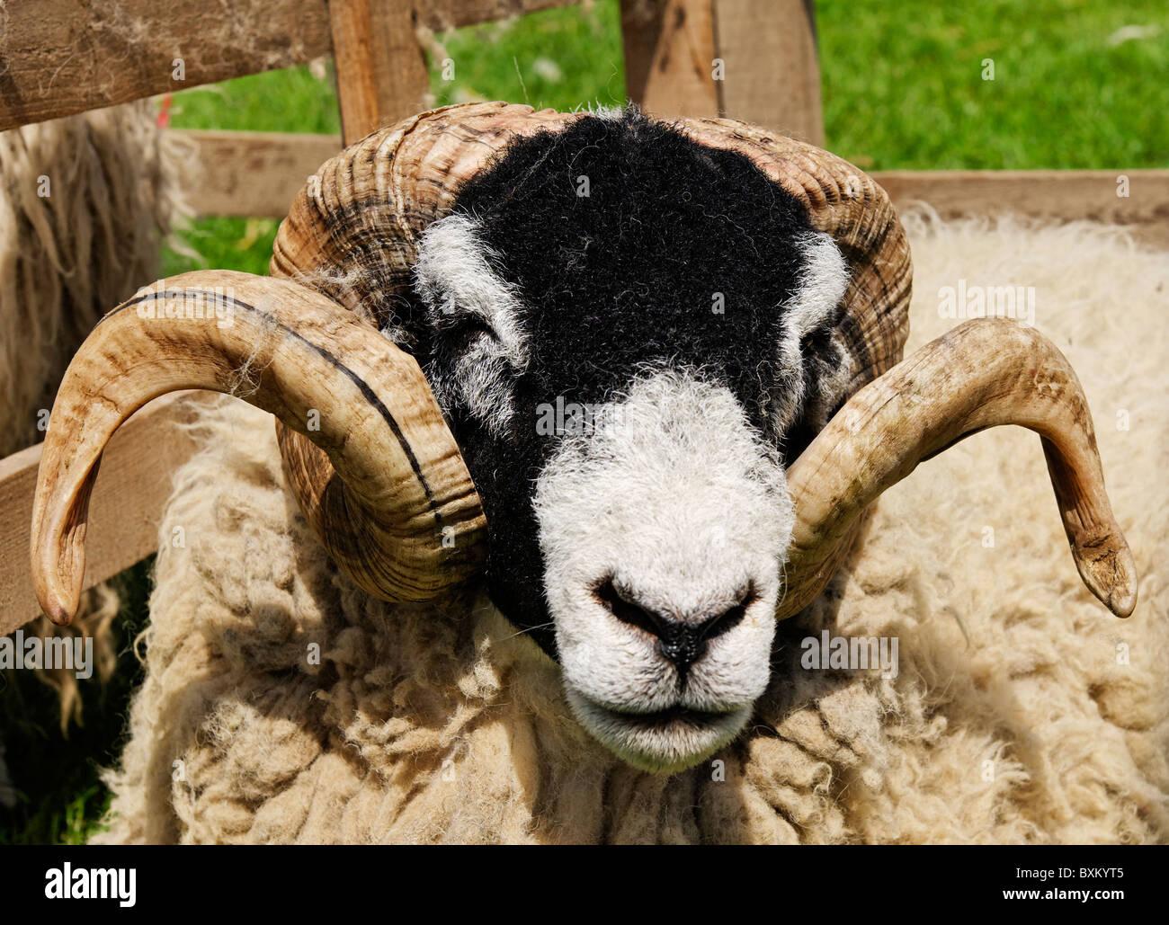 Ram - Stock Image