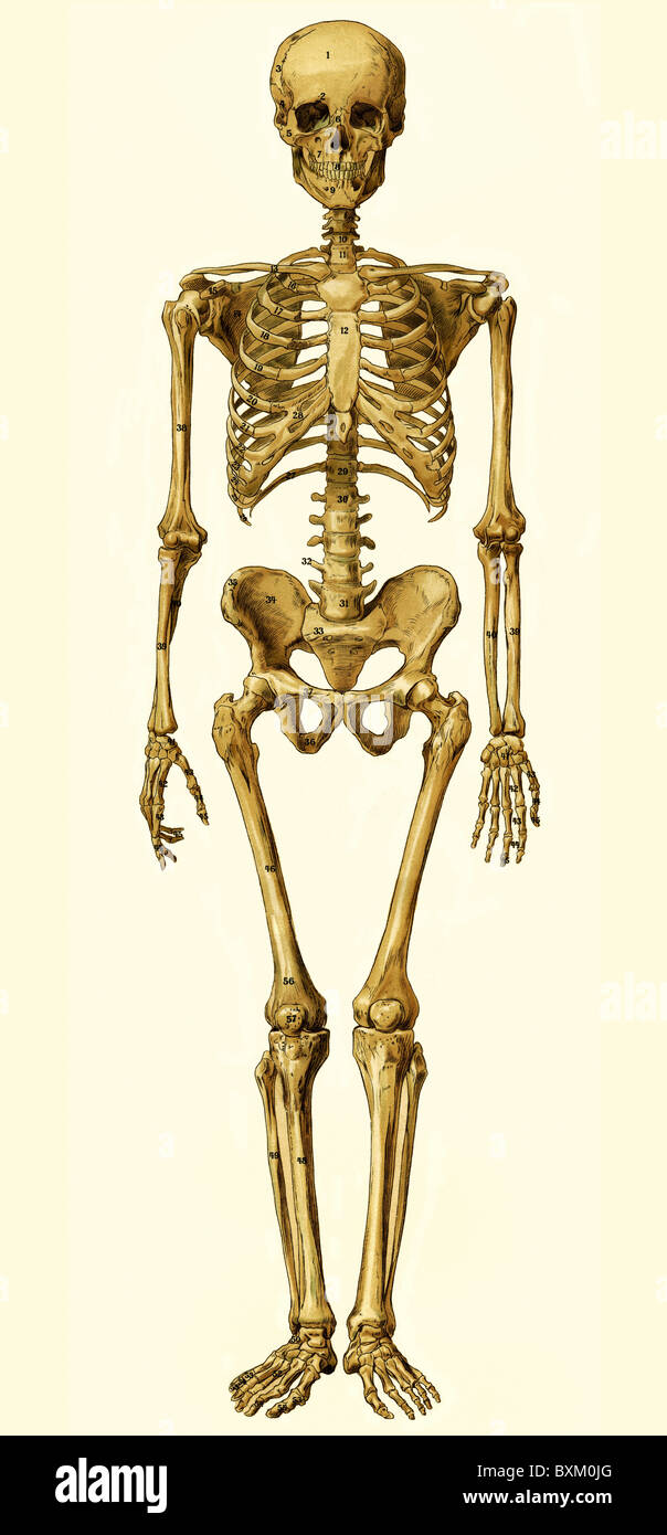 medicine, anatomy, human skeleton, medical illustration for education, contourgram, 1900, Additional-Rights-Clearences - Stock Image