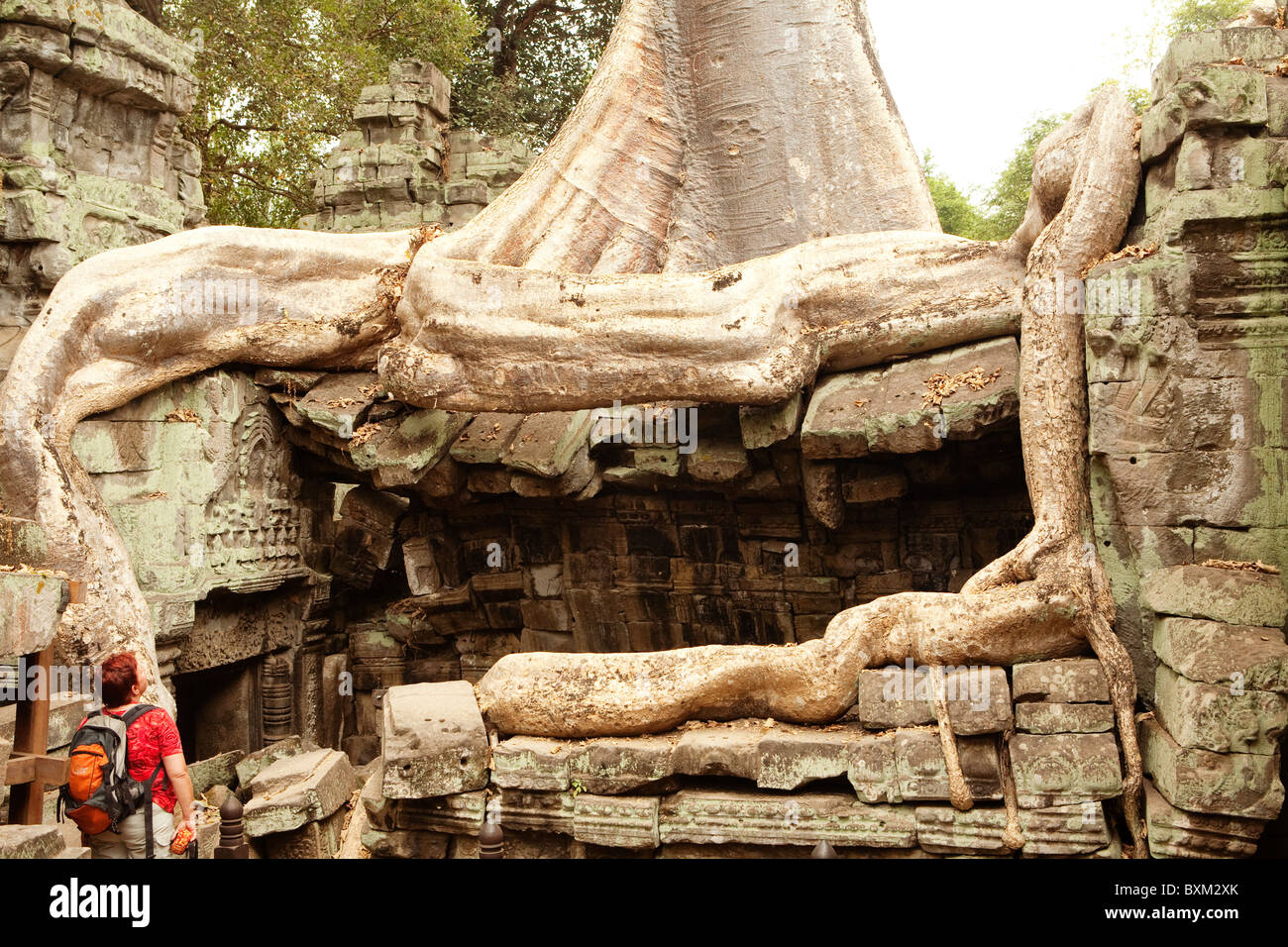 The Tetrameles nudiflora tree engulfs Ta Prohm Temple in the Angkor Temple Complex Stock Photo