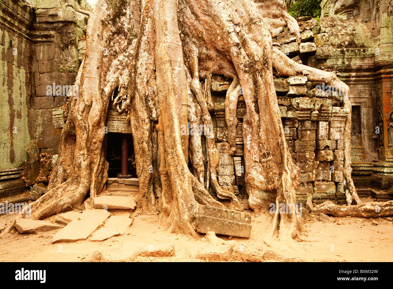 The Tetrameles nudiflora tree engulfs Ta Prohm Temple in the Angkor Temple Complex - Stock Image