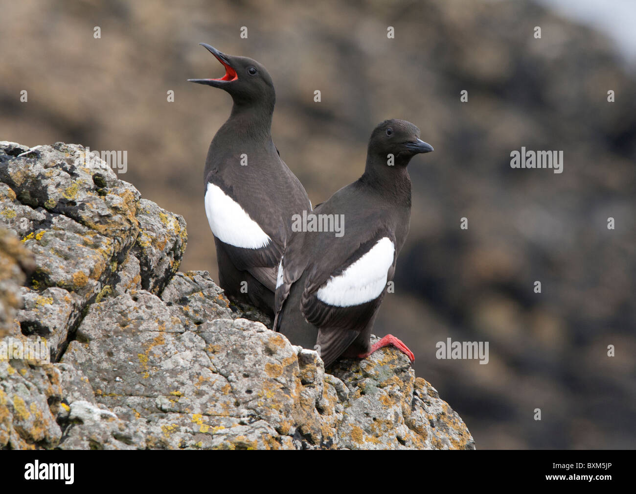 Two Black Guillemots standing on a rock edge, one calling for his friends in the sounding rocky landscape Stock Photo