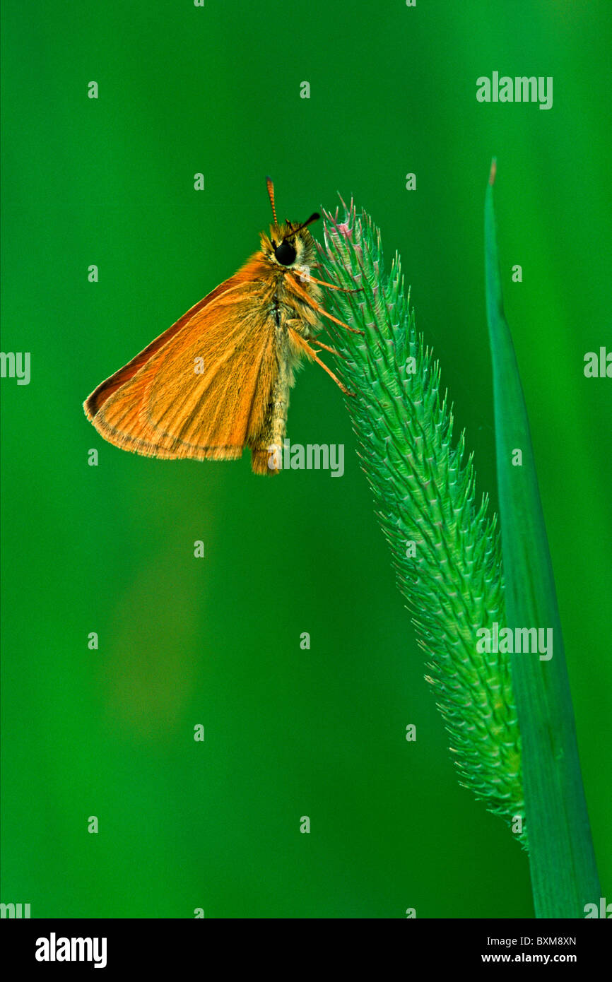 Small skipper, Thymelicus sylvestris, Valgrisenche, Italy - Stock Image