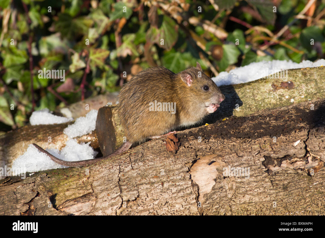 Brown Rat (Rattus norvegicus) - Stock Image