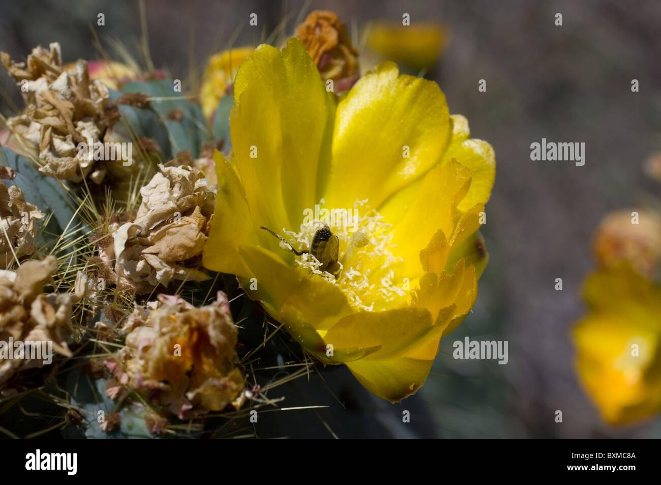 Bee feeding from Opuntia robusta flower(Wheel Cactus or Camuesa) Stock Photo