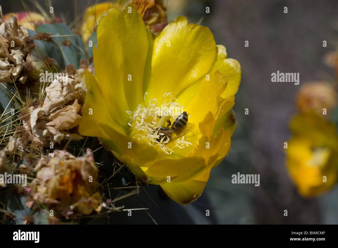 Bee feeding from Opuntia robusta flower (Wheel Cactus or Camuesa) Stock Photo